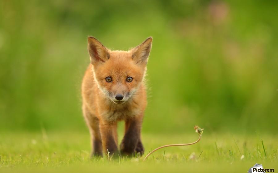 Baby Red Fox  Print