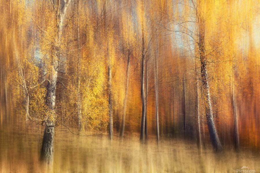 Autumn Birches  Print
