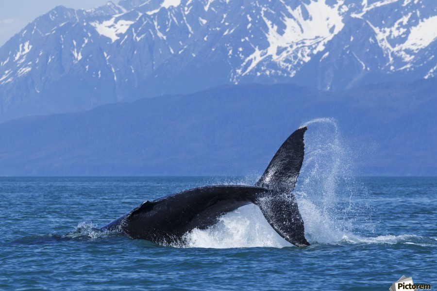A Humpback Whale calf frolicks in Lynn Canal near Berners Bay, Inside Passage, Alaska  Print
