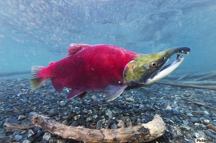 Underwater view of a male Sockeye Salmon in Power Creek near Cordova, Southcentral Alaska  Print