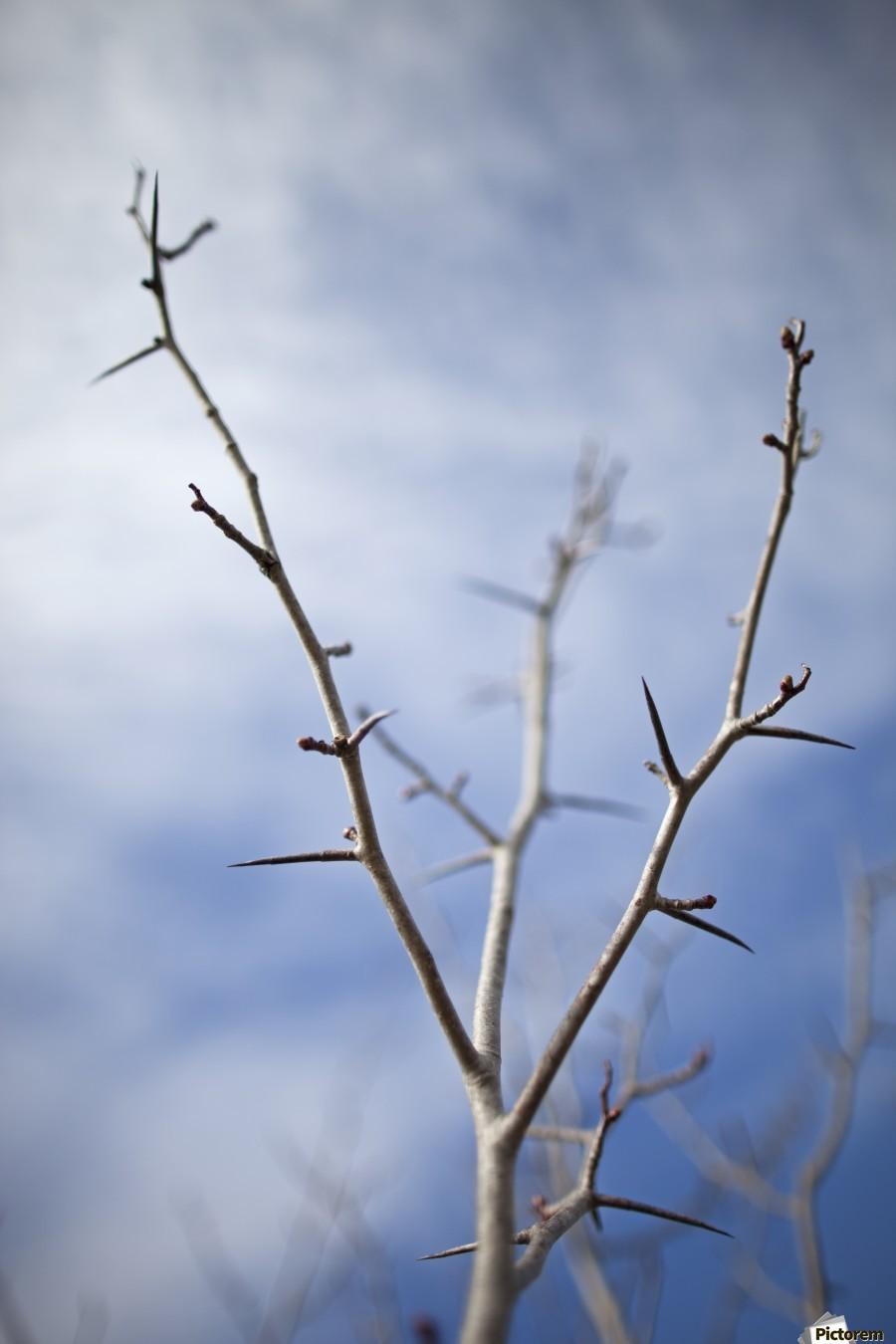 Tree with buds in springtime; Milton, Ontario, Canada  Print