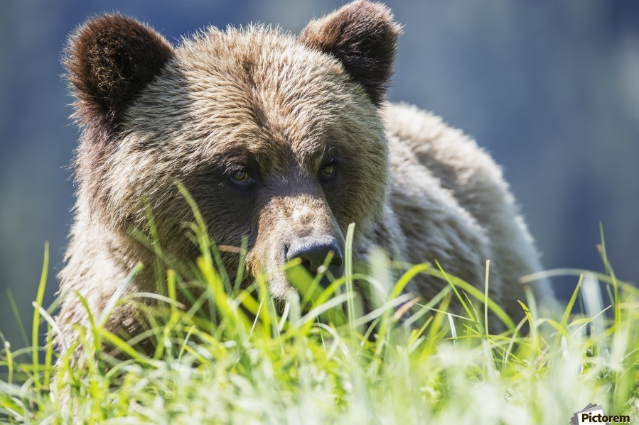 Grizzly Bear (Ursus Arctos Horribilis), Khutzymateen Sanctuary, near Prince Rupert; British Columbia, Canada  Print