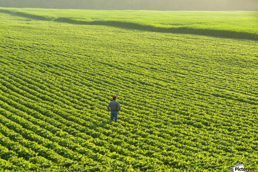Portrait of a farmer walking through a large green soybean field in central Iowa in summer; Iowa, United States of America  Print