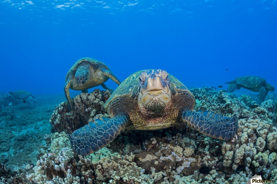 Several green sea turtles (Chelonia mydas), an endangered species, gather at a cleaning station off West Maui; Maui, Hawaii, United States of America  Print