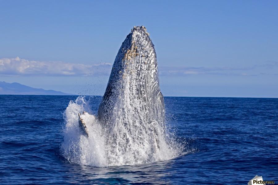 Breaching humpback whale (Megaptera novaeangliae); Maui, Hawaii, United States of America  Print