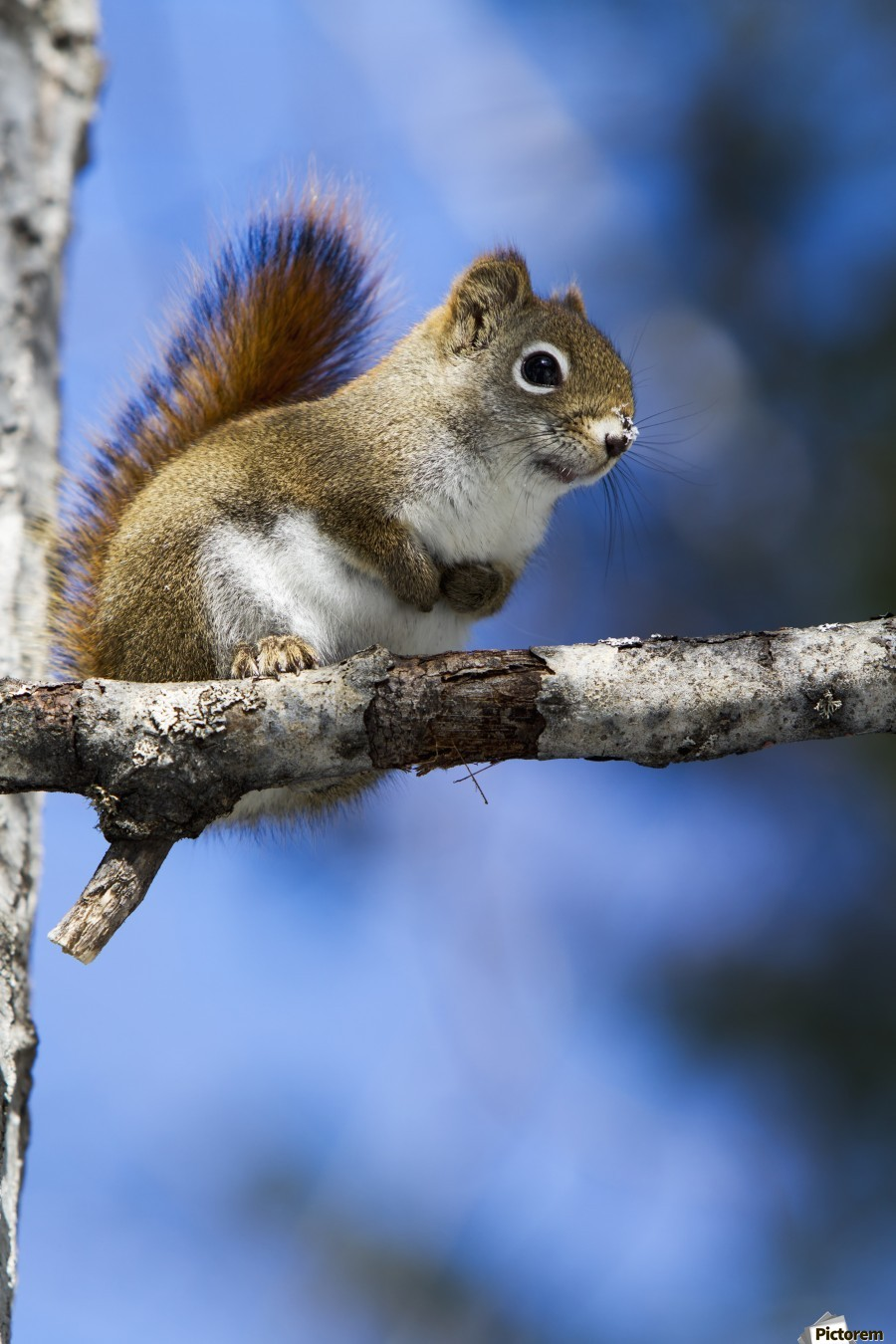 Eastern grey squirrel (Sciurus carolinensis) perched on a branch; Quebec, Canada  Print