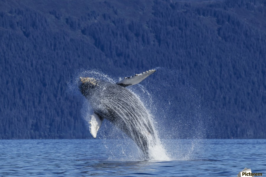 A young Humpback Whale leaps from the calm waters of the Stephens Passage near Tracy Arm, Southeast Alaska, USA.  Print
