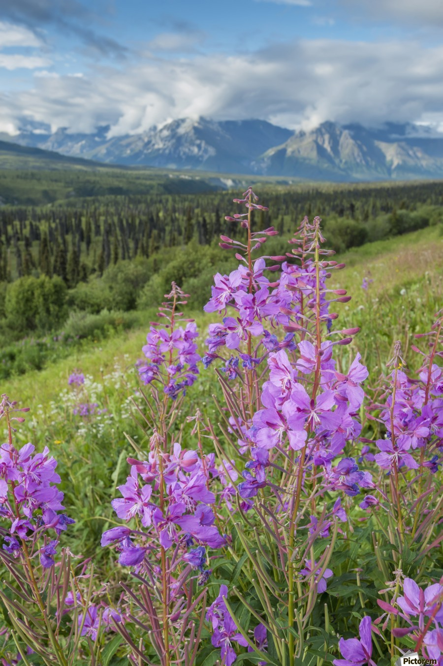Scenic view of landscape near Palmer, Alaska, with Fireweed (Epilobium angustifolium) in the foreground, Southcentral Alaska, summer  Print