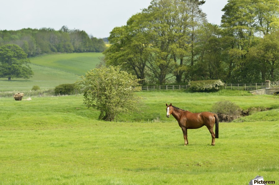 Horse in field; Morpeth, Northumberland, England  Print