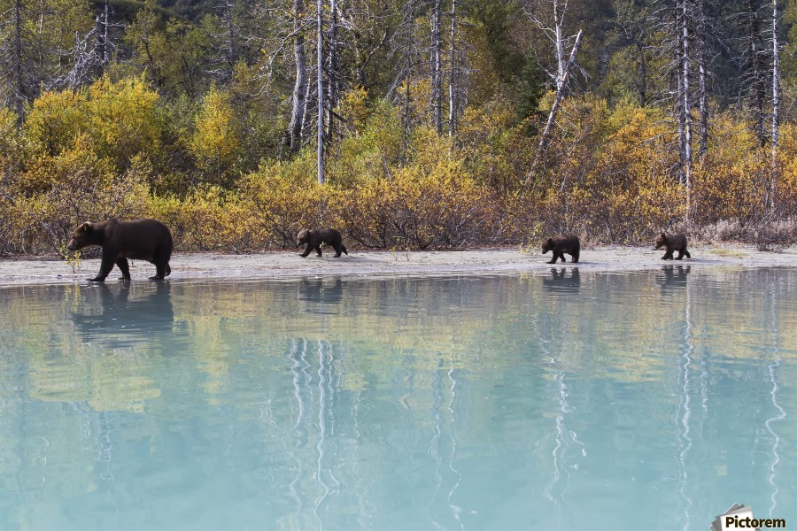 Sow Grizzly and three cubs walking along the shore of Crescent Lake, Lake Clark National Park, Southcentral Alaska, Autumn  Print