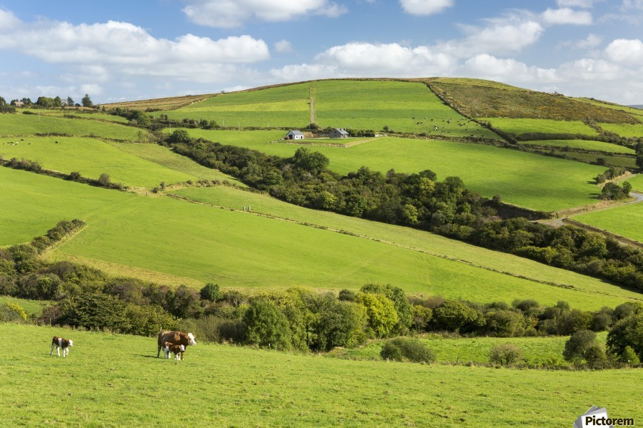 Cattle grazing on lush green hilly pastures with trees separating fields; County Kerry, Ireland  Print