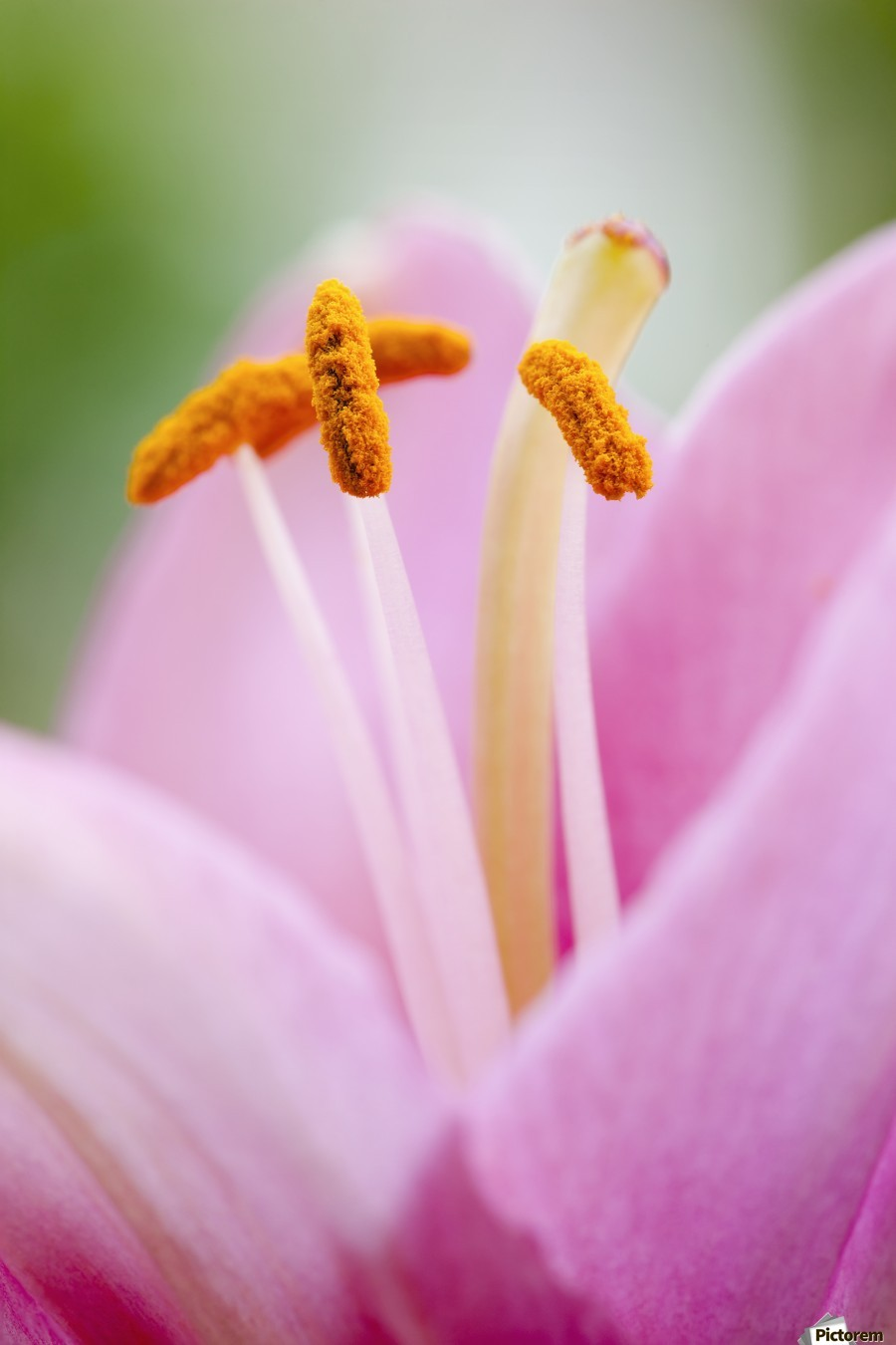 Close up of a lily; Quebec, Canada  Print