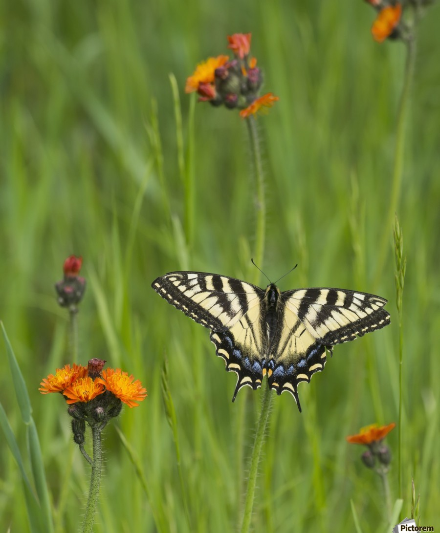 Eastern tiger swallowtail (Papilio glaucus) butterfly resting on flowers; Ontario, Canada  Print