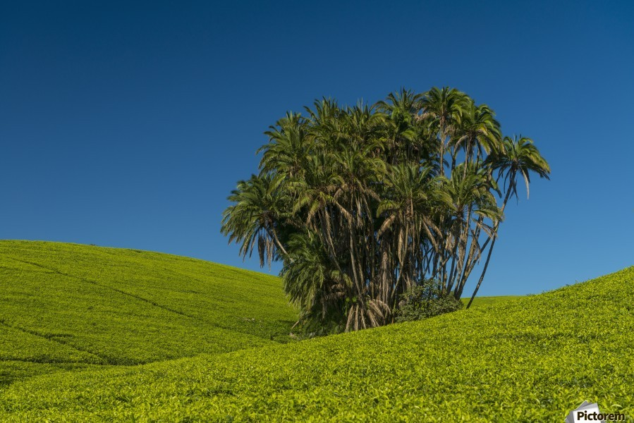 Collection of palm trees amongst hills covered in tea bushes, Satemwa Tea Estate; Thyolo, Malawi  Print