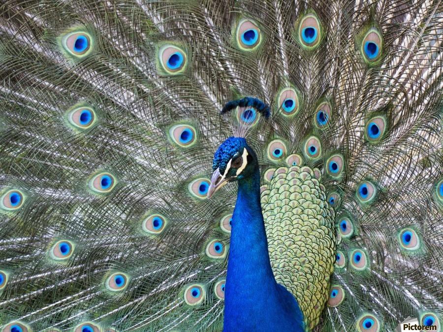 Peacock in full display mode attempting to attract a mate; Santa Cruz, Bolivia  Print