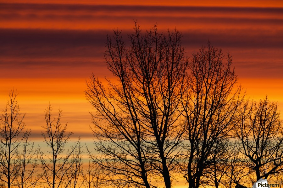 Silhouetted tree branches with dramatically colourful clouds at sunrise; Calgary, Alberta, Canada  Print