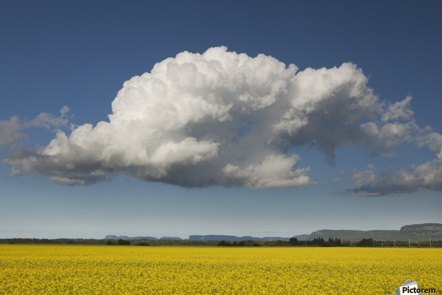 Canola field with blue sky and cloud; Thunder Bay, Ontario, Canada  Print