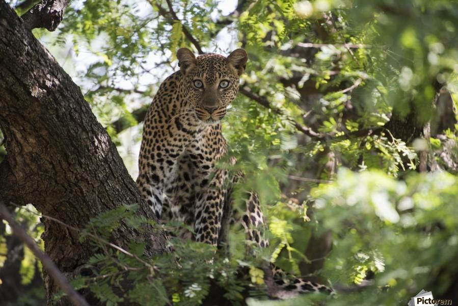 Leopard staring from tree in Lake Manyara National Park; Tanzania  Print
