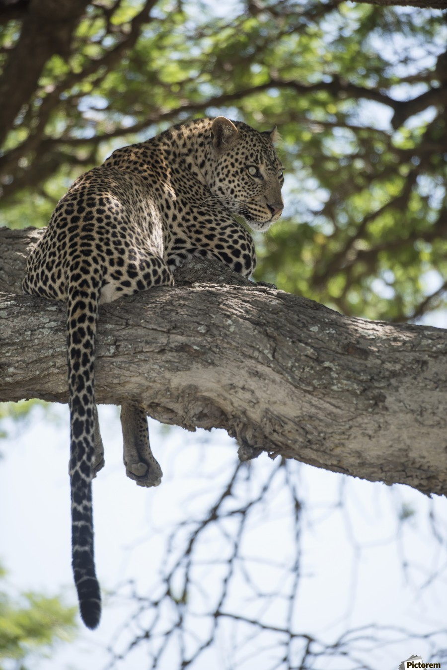 Leopard resting in tree near Ndutu, Ngorongoro Crater Conservation Area; Tanzania  Print