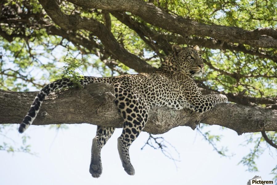 Leopard sprawled on tree limb near Ndutu, Ngorongoro Crater Conservation Area; Tanzania  Print