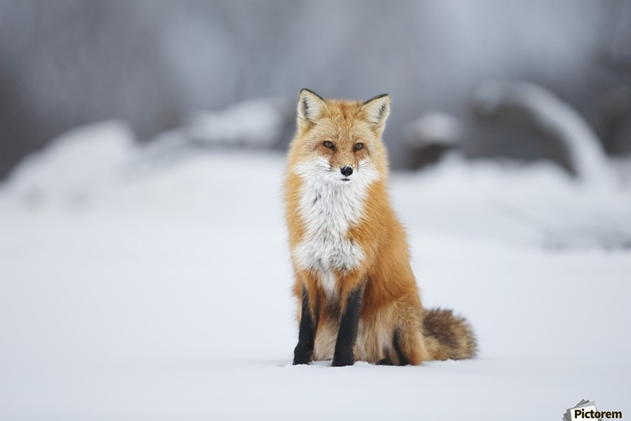 Male Red Fox Vulpes Vulpes Sitting In The Snow In Winter