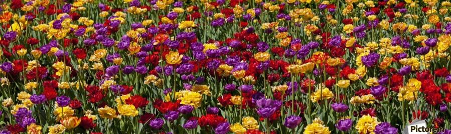 Tulips at the Canadian Tulip festival; Ottawa, Ontario, Canada  Print