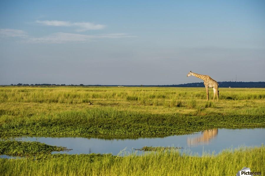 Giraffe (Giraffa camelopardalis), Chobe National Park; Kasane, Botswana  Imprimer