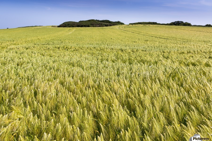 Wide angle image of a barley field with blue sky; Brittany, France  Print