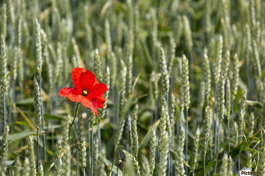 Close up of red poppy in a green wheat field; Brehec, Brittany, France  Print