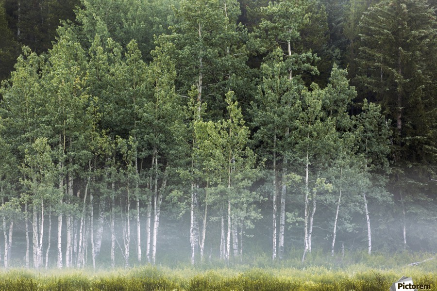 Fog covering a row of aspen trees in the early morning; Kananaskis Country, Alberta, Canada  Print