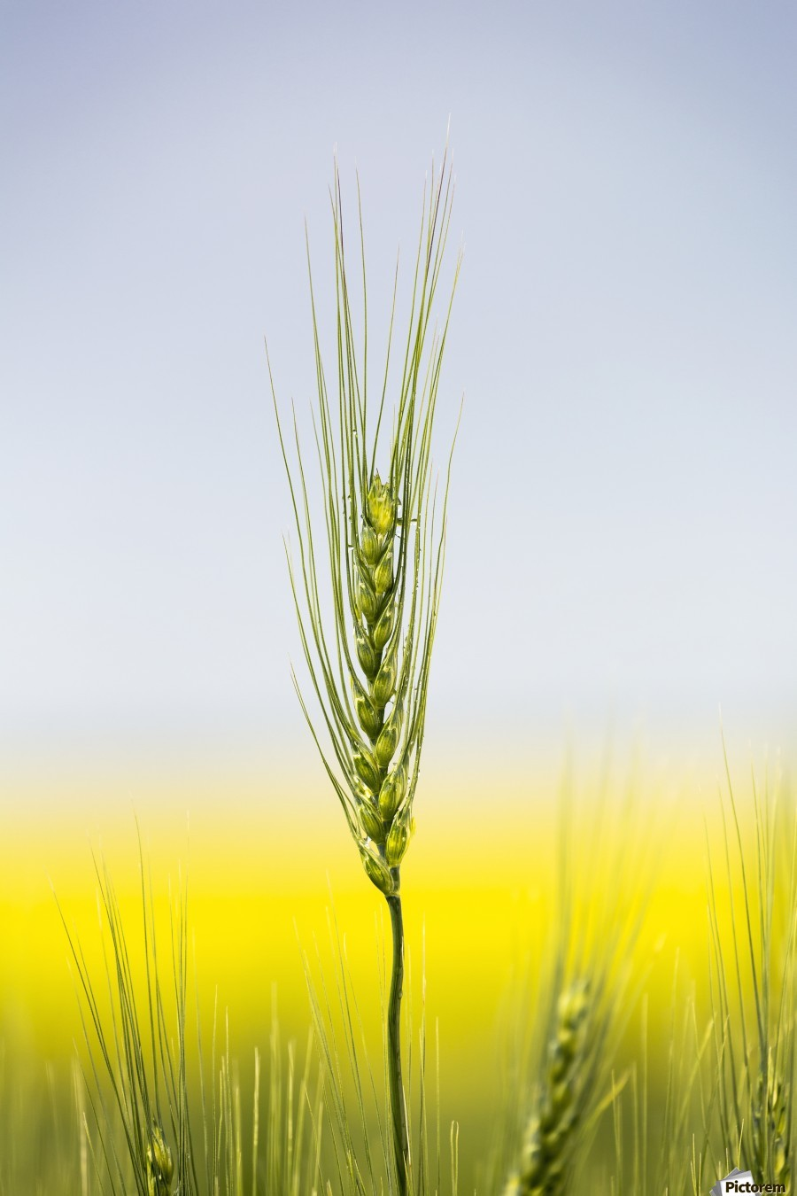 Close up of a green wheat head with the yellow colour of a flowering canola field in the background and blue sky; Acme, Alberta, Canada  Print