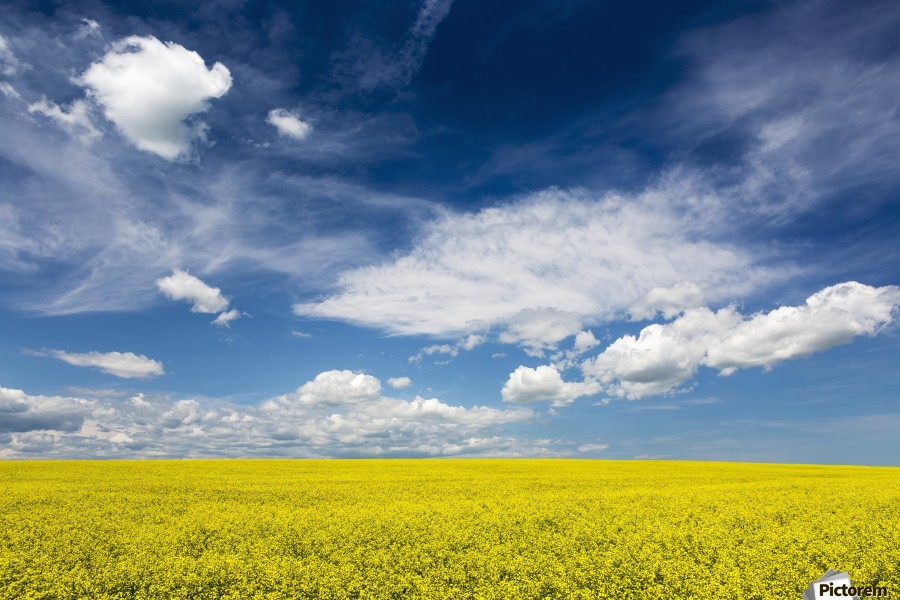 Flowering canola field with clouds and blue sky; Alberta, Canada  Print