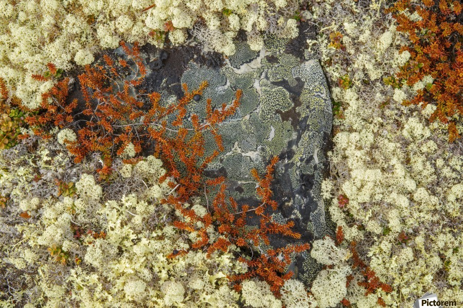 Caribou Moss and lichen grow abundatly in the tundra along the Dempster Highway, northern Yukon; Yukon, Canada  Print