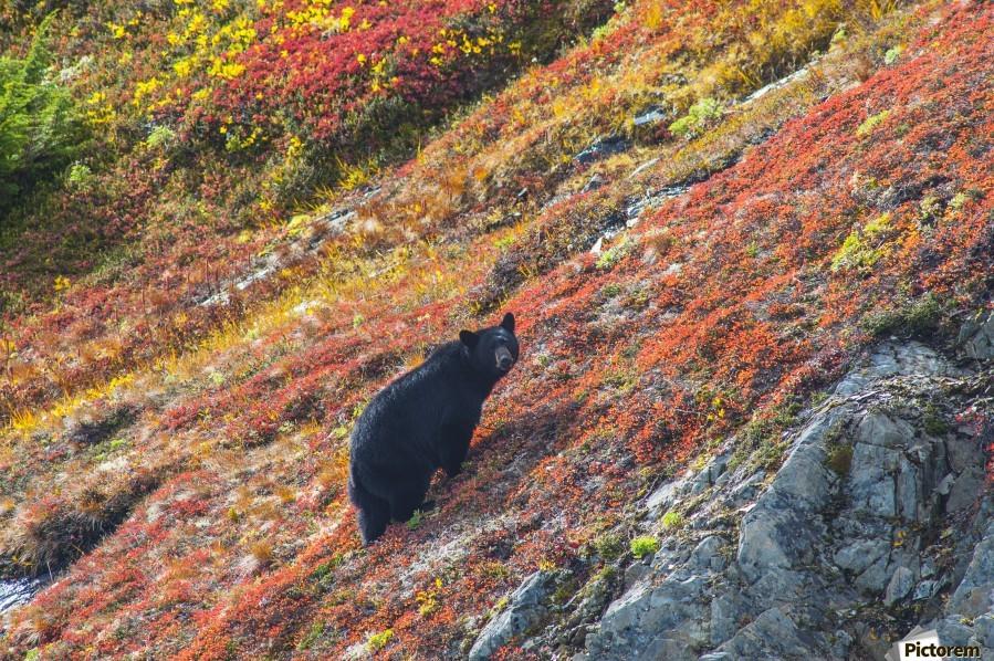Black bear (Urus Americanus) standing on a colorful autumn hillside, Kenai Fjords National Park, Southcentral Alaska  Print