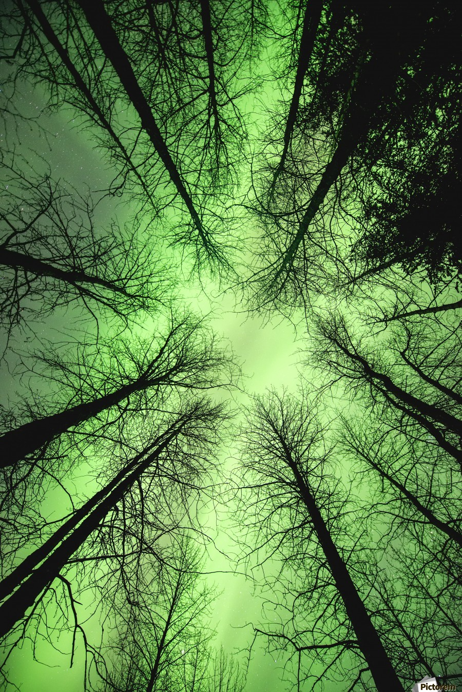 The aurora borealis glows overhead in a spruce forest in Portage Valley, Chugach National Forest, Southcentral Alaska.  Print