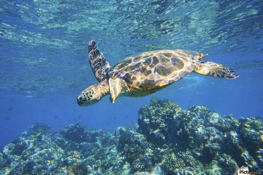 green sea turtle swimming in ocean sea  Print
