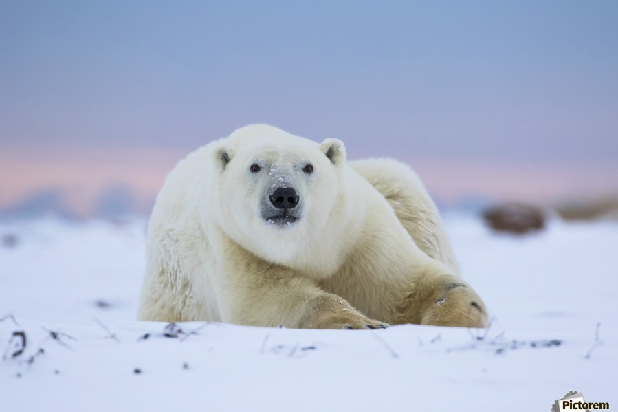 Polar bear (ursus maritimus) along the Hudson Bay coastline waiting for the bay to freeze over; Churchill, Manitoba, Canada  Print