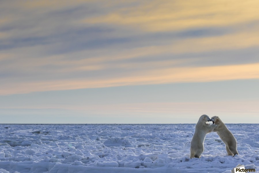 Polar bears (ursus maritimus) sparring on the coast of Hudson Bay; Manitoba, Canada  Print