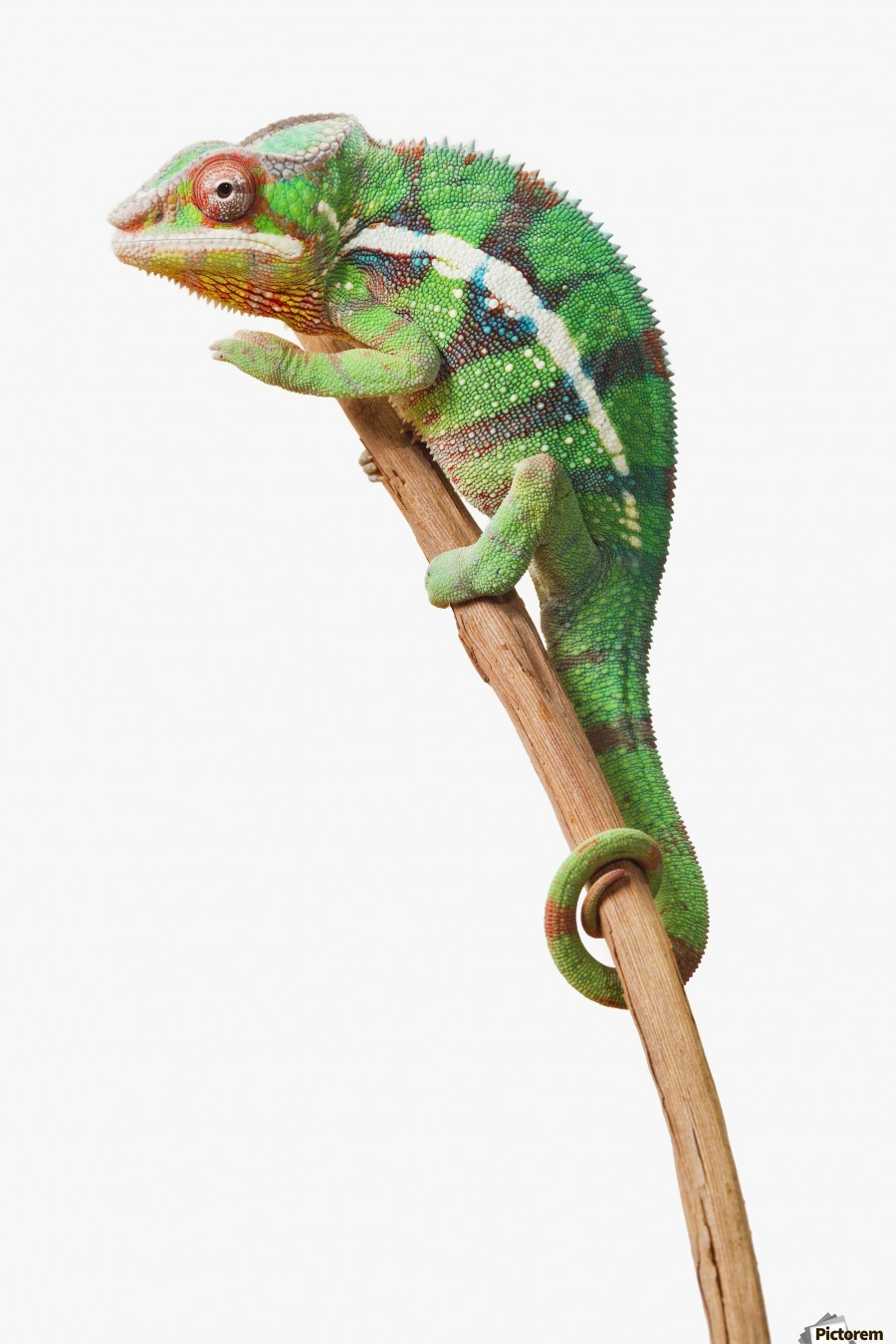 Colourful Panther Chameleon Furcifer Pardalis On A White