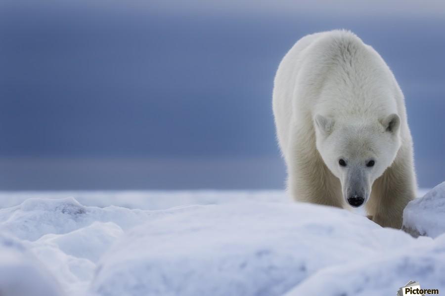 Polar bear (Ursus Maritimus); Churchill, Manitoba, Canada  Print
