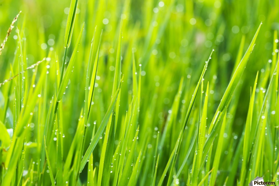 Close up of fresh grass with water drops in the early morning  Print