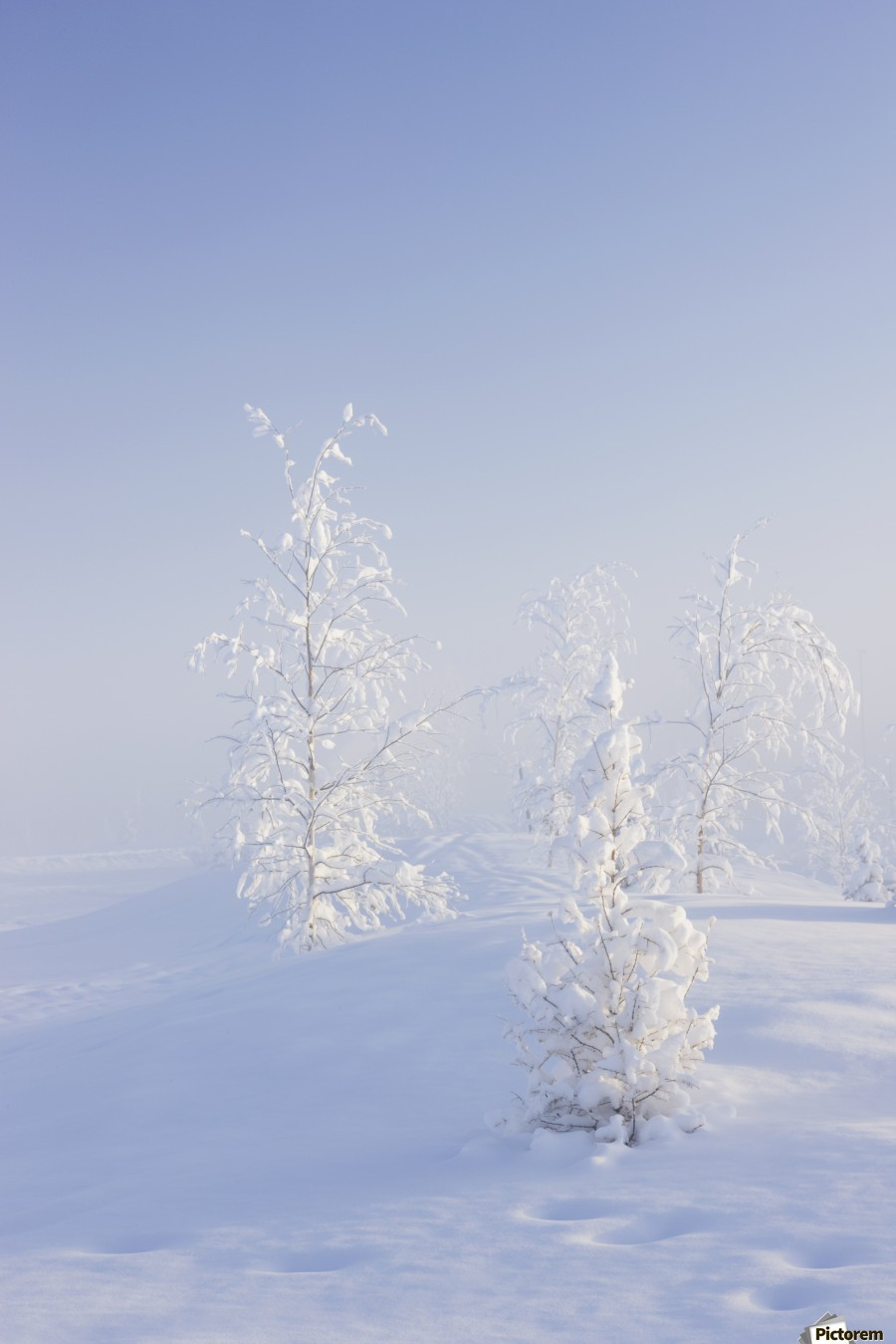 Scenic view of Birch trees in fog at sunrise, North Pole, Interior Alaska, Winter  Print