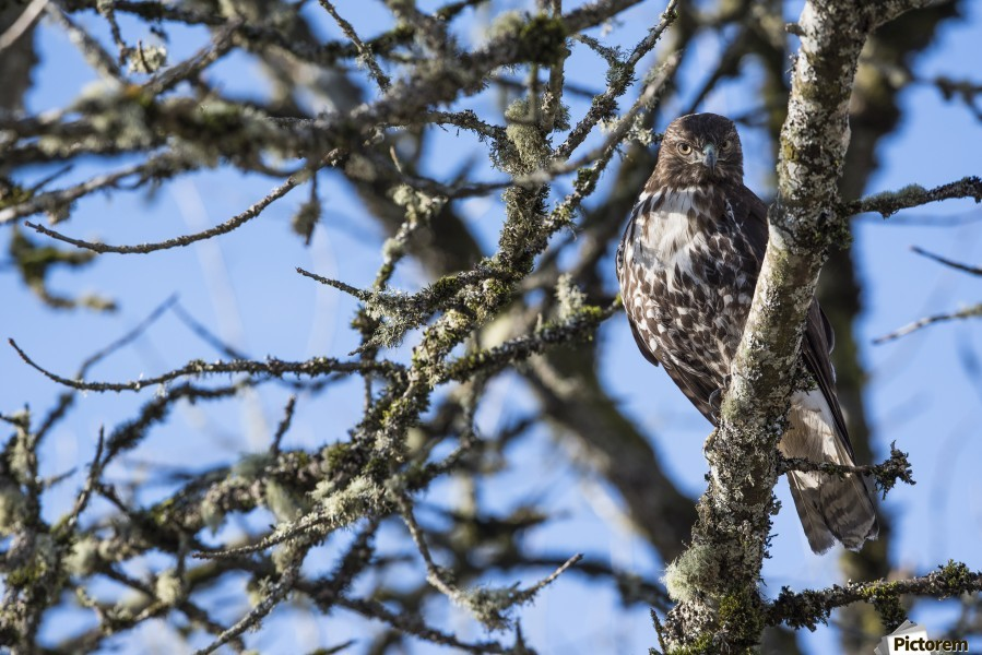 A young Red-tailed Hawk watches for movement in the grass below; Ridgefield, Washington, United States of America  Print