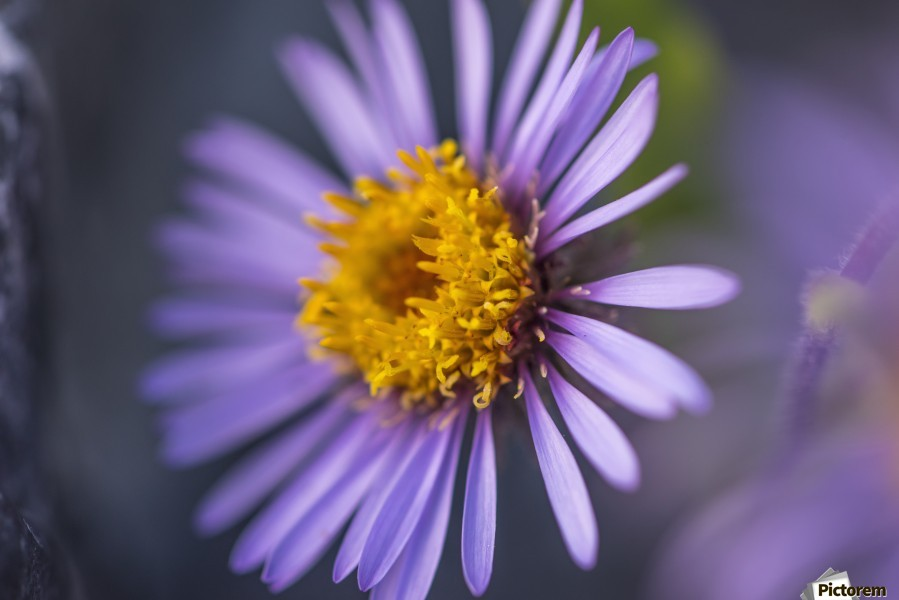 Siberian Aster along the Marsh Fork of the Canning River in the Arctic National Wildlife Refuge, Summer, Alaska    Print