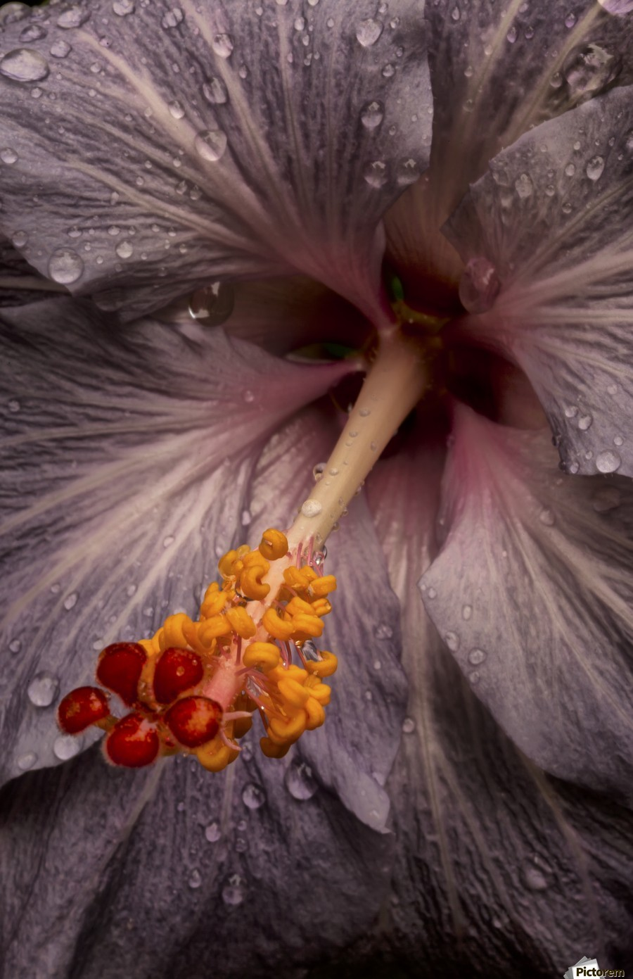Close up of a Hibiscus flower with water droplets; Hawaii, United States of America  Print