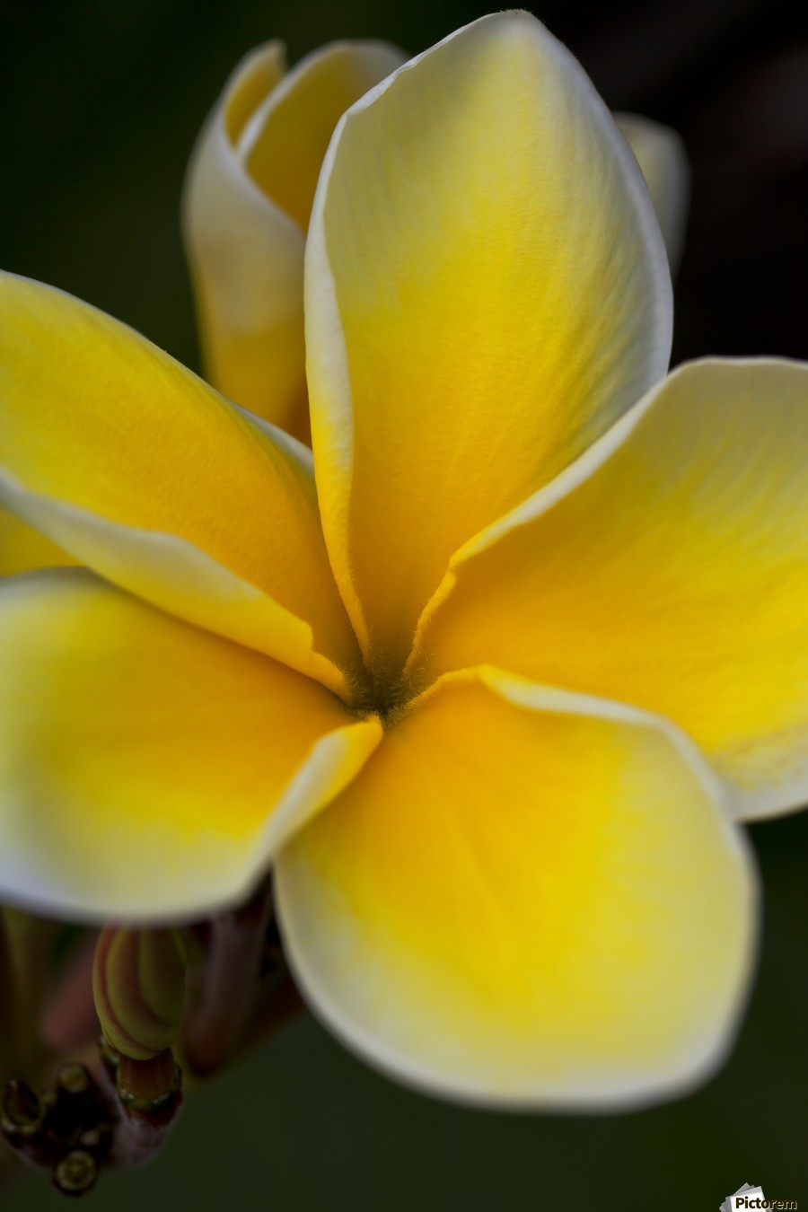Close Up Of A Yellow And White Tropical Flower Hawaii United