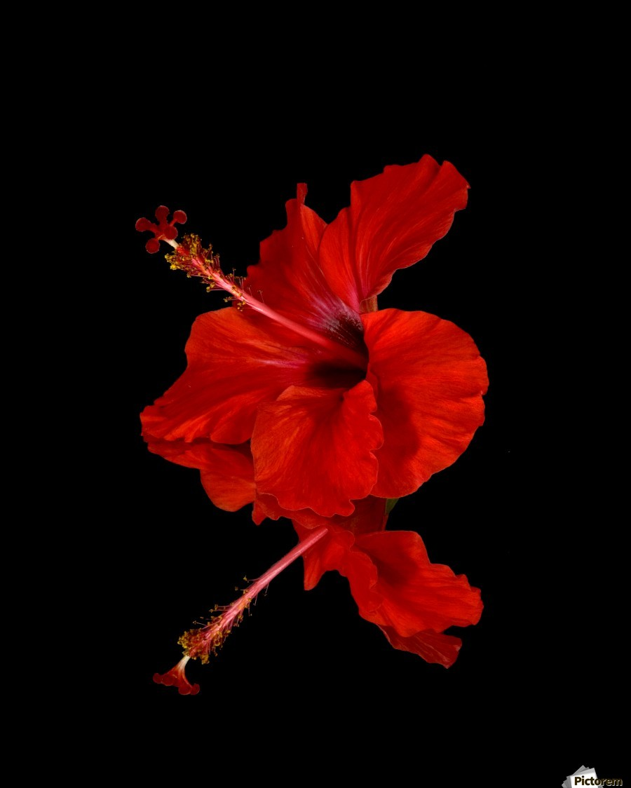 close up of a red hibiscus flower on a black background