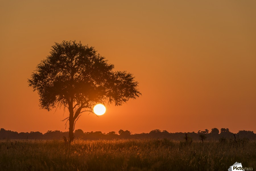 Backlit grass and silhouetted tree at sunset; Botswana  Print
