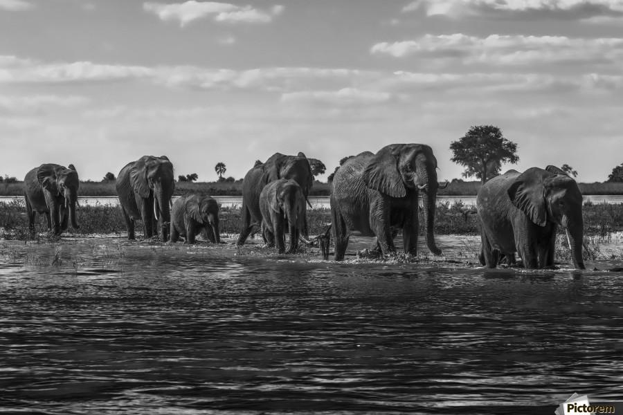 Line of elephants (Loxodonta africana) crossing river in sunshine; Botswana  Print