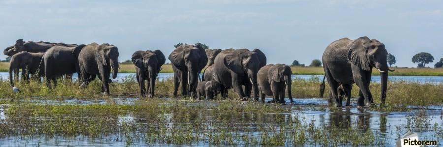 Panorama of elephants (Loxodonta africana) crossing shallow muddy river; Botswana  Print